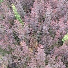 青州绿化苗木红叶小檗