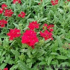 山東青州草花