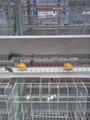 Laying hen breeder chinese design cheap