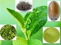 Green Tea Extract 95% EGCG 4