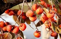 十月紅柿子苗.
