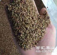 成都灌木種子紫穗槐種子批發