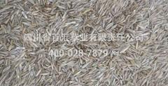 高羊茅草坪草种边坡绿化草种高羊茅种子供应