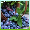 Bilberry Fruit Extract 3