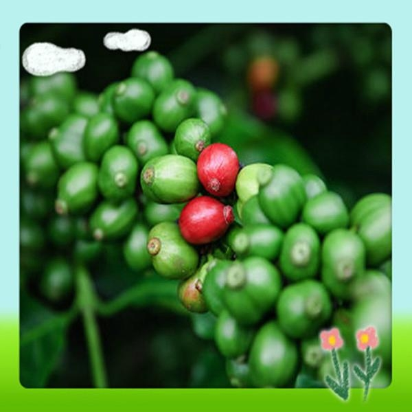 High Quality Green Coffee Bean Extract 1
