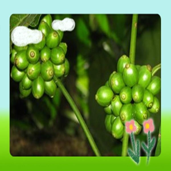 High Quality Green Coffee Bean Extract 2