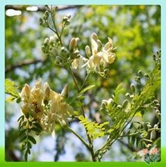 Moringa oleifera leaf powder