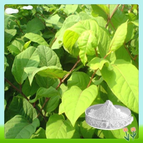 Hot Sale Polygonum Cuspidatum Resveratrol Extract 3