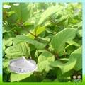 Hot Sale Polygonum Cuspidatum Resveratrol Extract 5