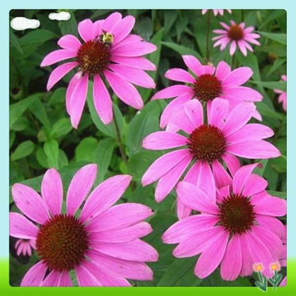 Top Quality Echinacea Pallida Extract 3