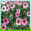 Top Quality Echinacea Pallida Extract 4