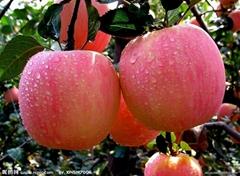 供應2014年優質賽眾紅富士蘋果