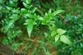 藤茶提取物(二氢杨梅素)  2