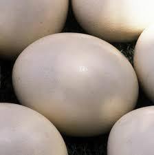 Fertile Ostrich Eggs and Chicks