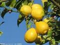 檸檬水果 2