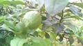 檸檬水果 3