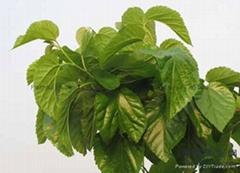 Organic Pollution-free Dried Mulberry Leaf Tea