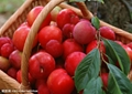 hot sale high quality hawthorn berry