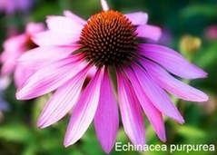 Factory supply Organic Echinacea Extract
