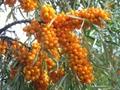 Sea Buckthorn Fruit Powder