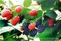 Chinese factory supply natural Mulberry
