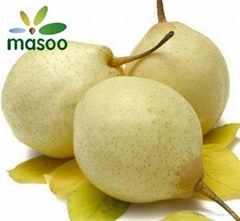 Ya Pear (Chinese White Pear) from China (Wholesale)