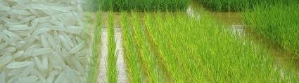 Long grain white rice 5% 2