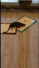 Mouse&Rat Sticky Glue Boards