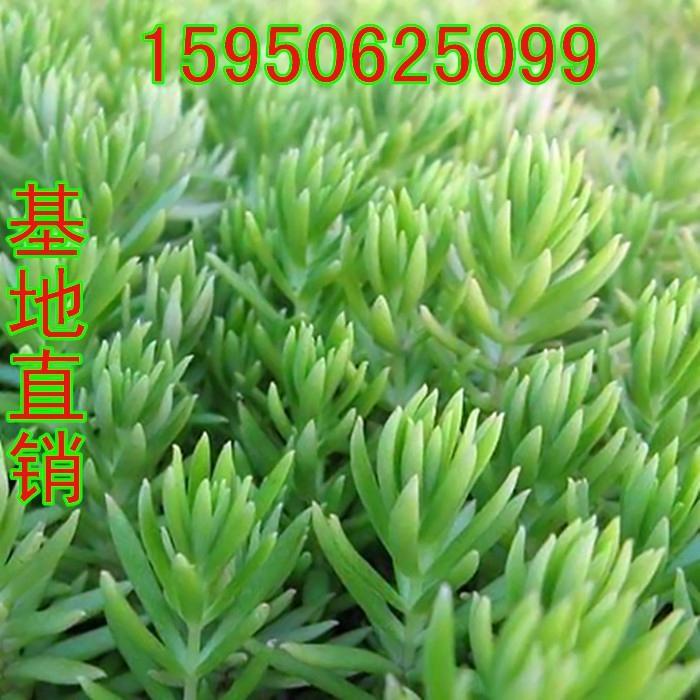 佛甲草屋顶绿化 1