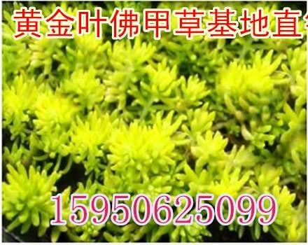 金葉佛甲草 屋頂綠化 1
