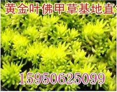 金叶佛甲草 屋顶绿化