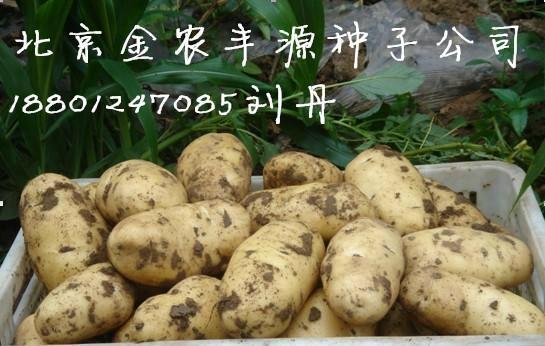 荷蘭十五土豆種子 1
