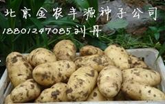 荷蘭十五土豆種子