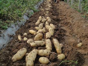 荷兰十五土豆种子 2