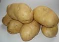 荷蘭十五土豆種子 4