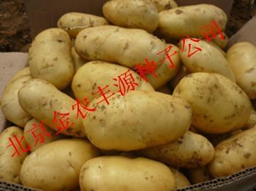 荷兰十五土豆种子 3