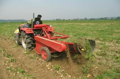 荷兰十五土豆种子 5