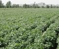 馬鈴薯土豆種子 2