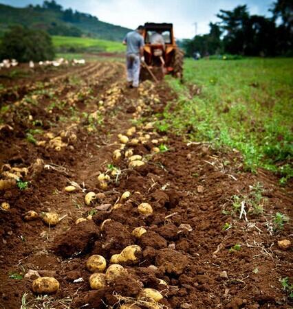 馬鈴薯土豆種子 3