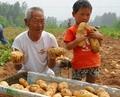 馬鈴薯土豆種子 4