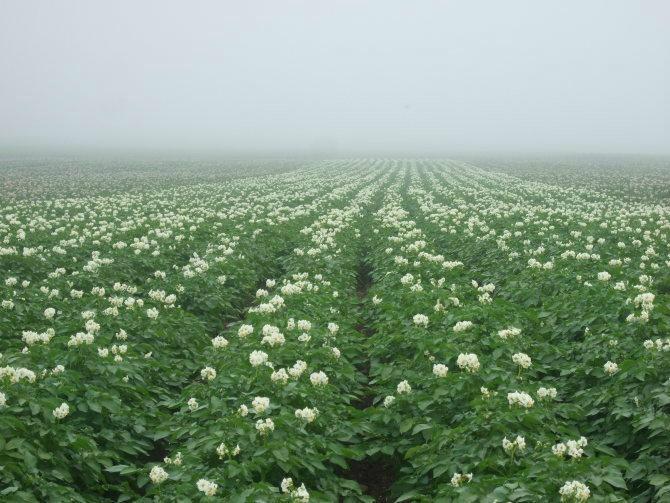 馬鈴薯土豆種子 5