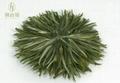 保康綠菊茶藝朮茶 5
