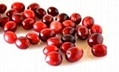 Cranberry Extract Proanthocyandin