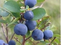 Blueberry Extract Anthocyanidin