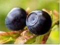 Bilberry Extract Anthocyanidin