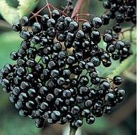 Black Currant Extract Anthocyanidins