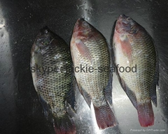 tilapia whole round (WR)