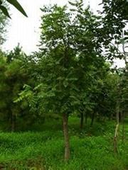 天津欒樹2
