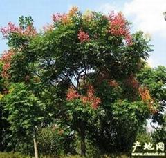 天津欒樹3