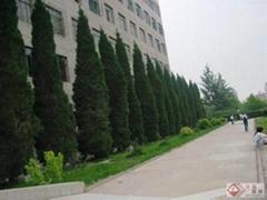 北京檜柏3